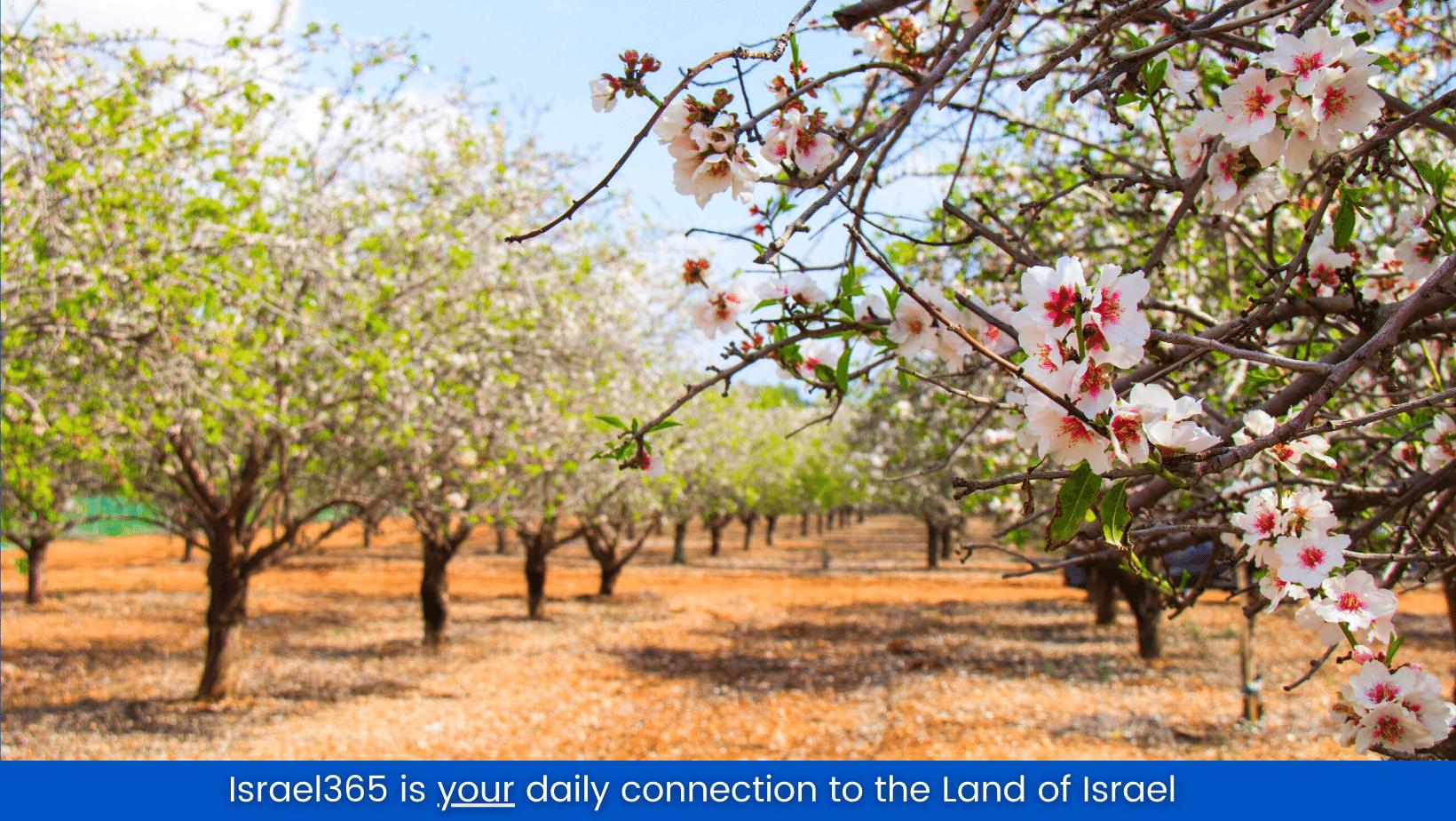 almond-tree-in-bloom