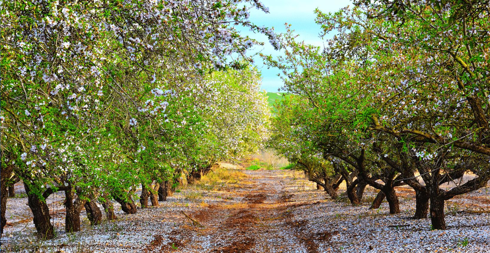 almond-tree-field