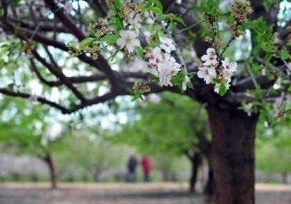 tu-bshvat-almond-tree-blossoming