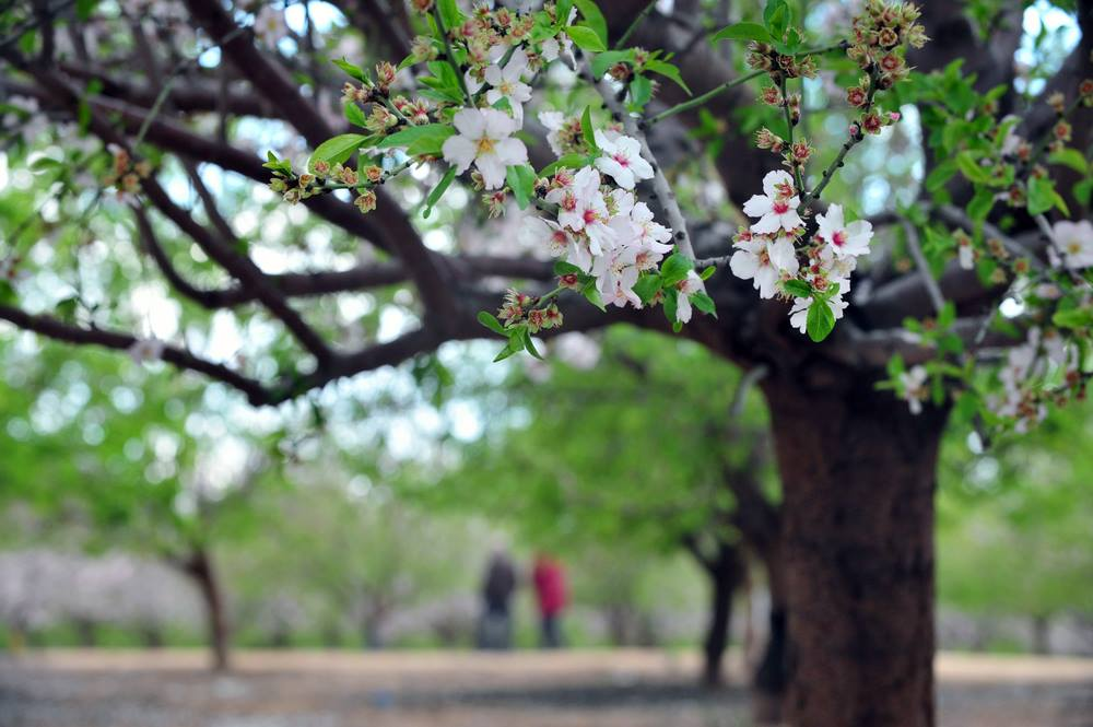 The Lovely Almond Tree: Symbolizing the Temple in Destruction and Resurrection