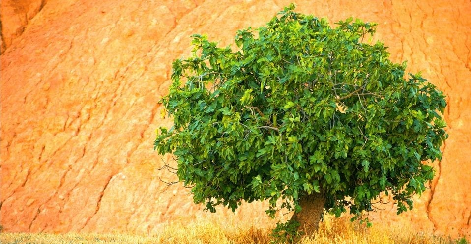a-fig-tree