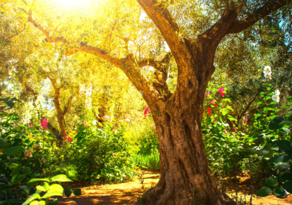 olive-tree-tu-b-shvat