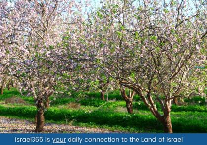 almond-trees-israel365