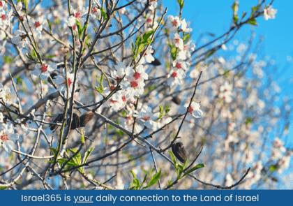 tu-bshvat-almond-tree