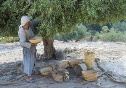 olive-tree-harvest