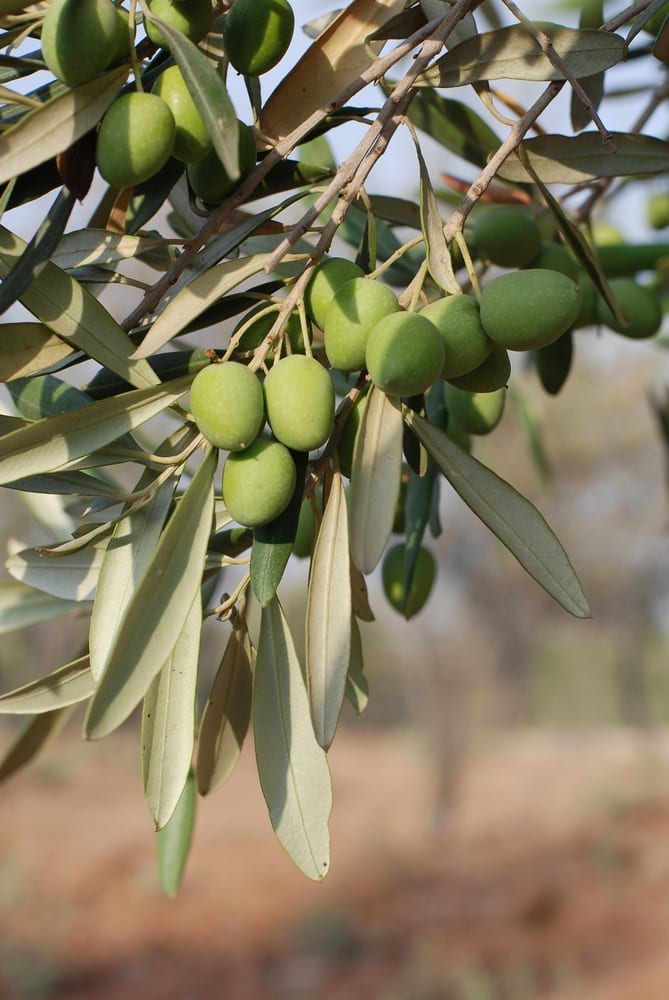 olive-tree-in-israel-ripe