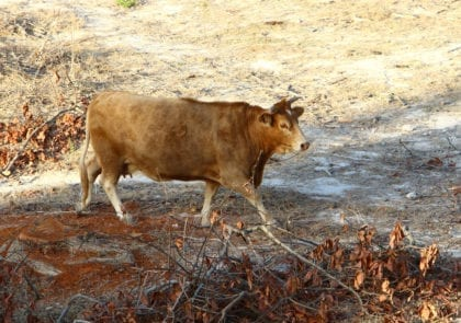 red-cow-in-israel