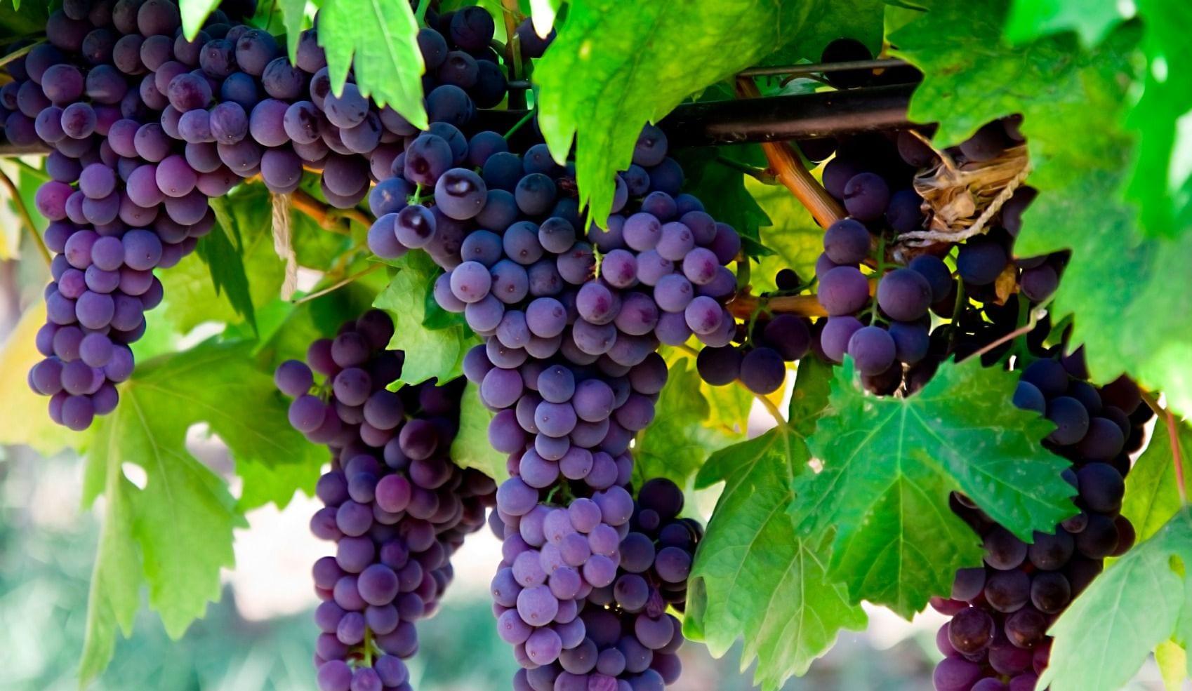 grape-vine-in-israel