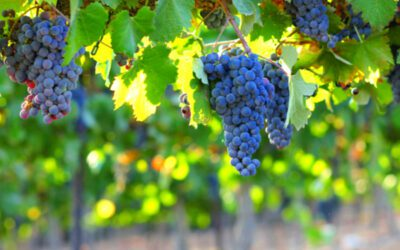 What can we learn from a grape?