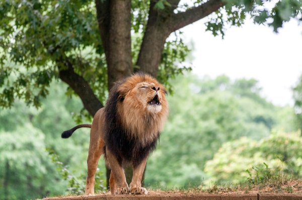 What we can learn from the mighty lion