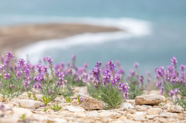 Flowers blooming at the Dead Sea - a sign of prophecy? (Shutterstock)